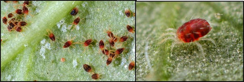 Red spider mites adults