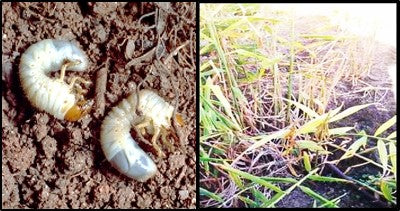 Root grubs attack on Ginger crop