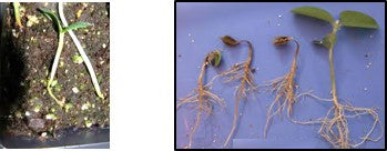 Root rot infection in plants