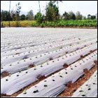 Row method of watermelon sowing