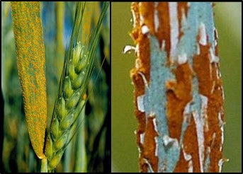Rust disease management in wheat crop