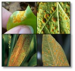 Rust Fungal disease on leaves