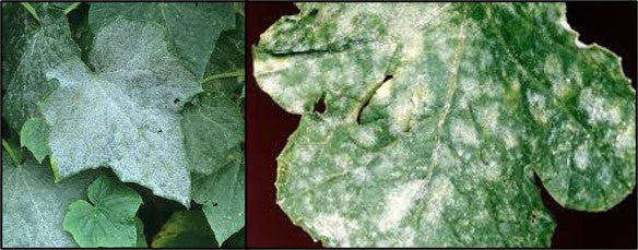 Powdery mildew infection caused by SPHAEROTHECA FULIGINEA