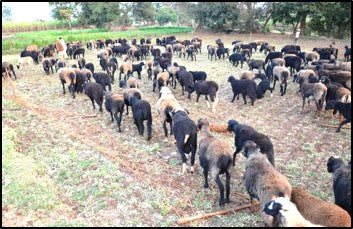 Penning of sheep herds