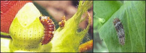 Shiny spotted bollworm