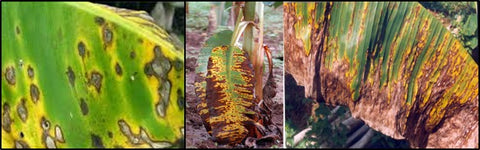 Yellow Sigatoka Disease in Banana Crop