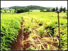 Soft rot diseases in Ginger crop