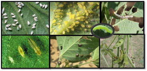 Soyabean pests