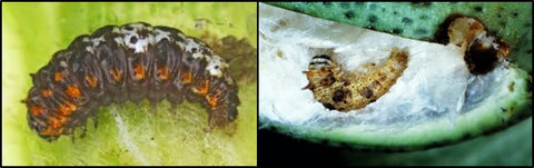 Spotted bollworm
