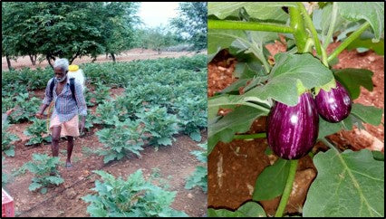 Spraying pesticides to control Brinjal shoot and fruit borer