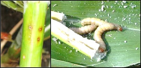 Stem borer in Sweet corn