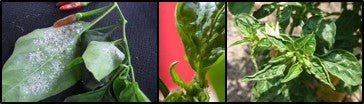 Sucking pests infestations on chilli crop which also spreads viral diseases