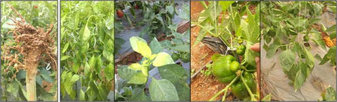 Symptoms of root knot nematodes in ploy house capsicum