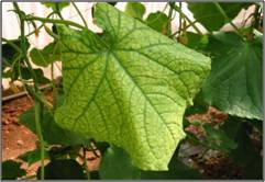Leaf discolouration due to nematode infestion in cucumber in ploy house