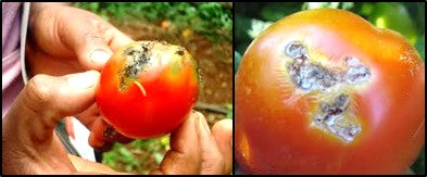 TUTA ABSOLUTA attack on tomato fruits