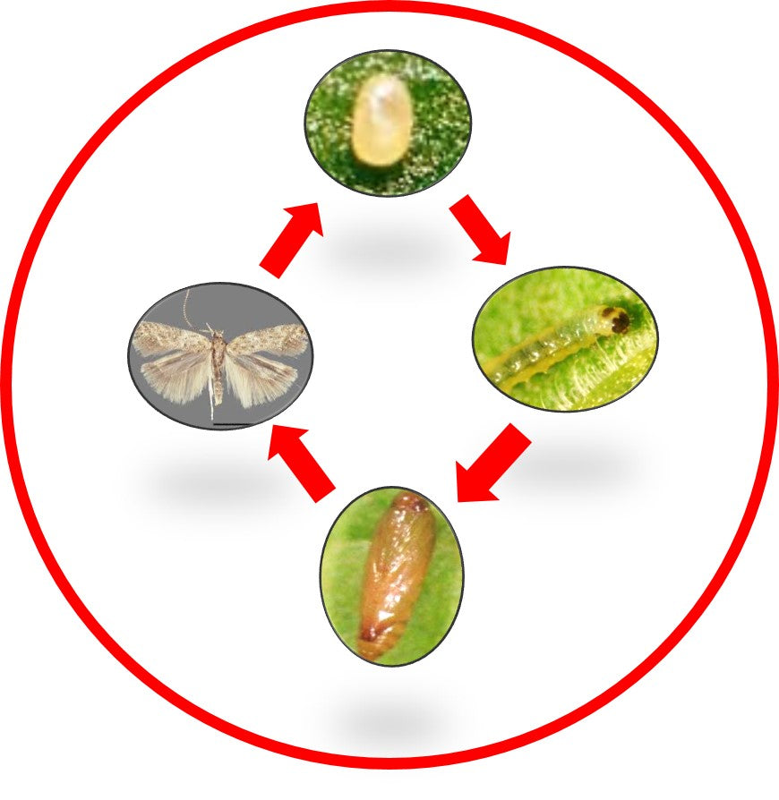 TUTA ABSOLUTA life cycle