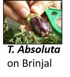 TUTA ABSOLUTA on Brinjal