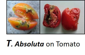 TUTA ABSOLUTA on Tomato crop