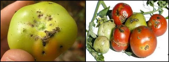 TUTA ABSOLUTA on tomato fruits