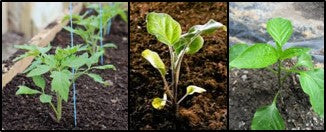 Tomato, Brinjal and Capsicum seedlings