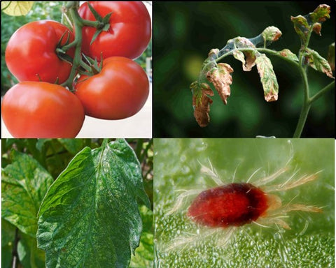Tomato crop with red mites