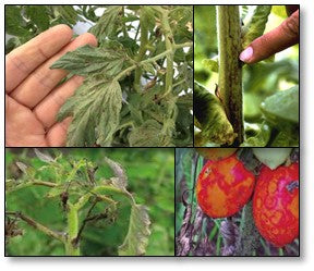 TOSPO viral infections on tomato
