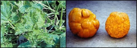 Viral infection in Pumpkins
