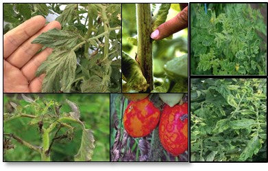 Viral infections in tomato crop