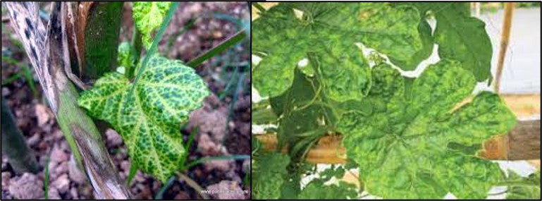 Viral infections on bitter gourd crops
