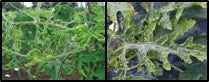 Viral infections on gourd crops1