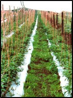 Weed growth in Tomato crop