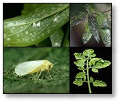 Damage of Plants by White flies