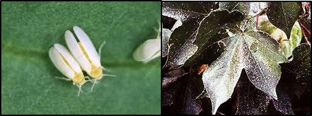 Whiteflies attack on cotton