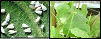 Whiteflies infestation on Gourd crops