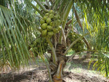 DEEJAY SAMPOORNA HYBRID COCONUT SEEDLINGS - BigHaat.com