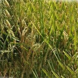 25P35 HYBRID  PADDY (RICE)