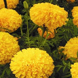 ARROW GOLD MARIGOLD - BigHaat.com