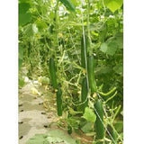 WINTER EXPRESS CUCUMBER - BigHaat.com