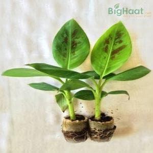 GRAND NAINE BANANA SAPLINGS [TISSUE CULTURE]- G NAINE