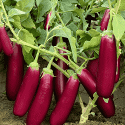 BRINJAL No. 704 - BigHaat.com