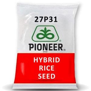 27P31 HYBRID  PADDY (RICE) (धान )