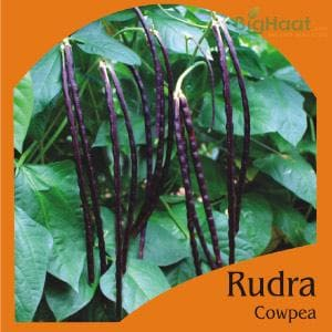 RUDRA COWPEA POLE BEAN (RED) (OP)