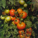 SAAHO TOMATO [TO-3251] - BigHaat.com