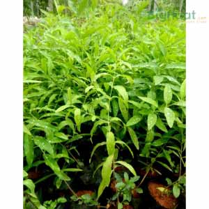 SANDALWOOD SAPLINGS
