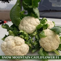 SNOW MOUNTAIN CAULIFLOWER F1 - BigHaat.com