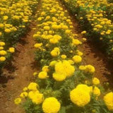SW 506 YELLOW MARIGOLD - BigHaat.com
