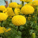 TENNIS BALL YELLOW MARIGOLD