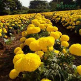 TENNIS BALL YELLOW MARIGOLD - BigHaat.com