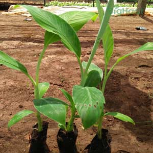 YELAKKI BANANA SAPLINGS [TISSUE CULTURE]