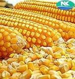 6240 MAIZE - BigHaat.com